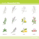 Healthy oils. Healthy essential oils plant set including peppermint, lavender, lemon and rosehip (leaves, flowers and fruits Stock Photos