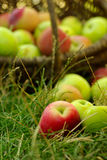 Healthy Organic Apples in the Basket. Stock Photo