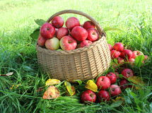 Healthy organic apples in the basket Stock Photography