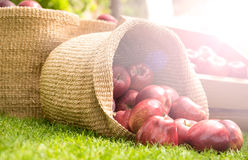 Healthy Organic Apples in the Basket. Stock Image