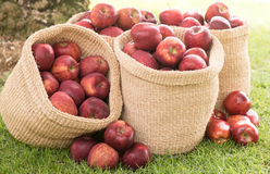 Healthy Organic Apples in the Basket. Stock Photos