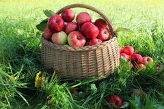 Healthy organic apples in the basket royalty free stock photo