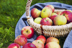 Healthy Organic Apples in the Basket Royalty Free Stock Images