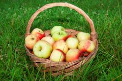 Healthy organic apples in the basket royalty free stock image