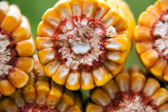 Healthy organic corn. Heart of the corn cobs, natural healthy food Royalty Free Stock Photo
