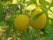 Healthy organic grown lemons on the tree Royalty Free Stock Photo