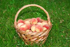 Healthy organic peaches in the basket stock photography