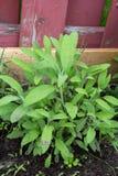 Healthy organic sage herb plant in garden Stock Photos