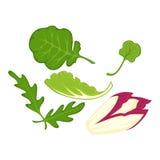Healthy organic salad leaves cartoon isolated illusrations set Stock Photos
