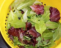 Healthy organic Spring Mix lettuce leaves after rinsing in colander royalty free stock photos
