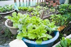 Healthy organic vegetable farming at home small garden Stock Photography