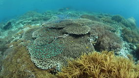 Healthy Pacific Reef. A healthy, biodiverse coral reef grows near Alor in Indonesia. This part of the tropical Pacific is home to an extraordinary array of stock footage