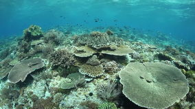 Healthy Pacific Reef and Small Fish. A healthy, biodiverse coral reef grows near Alor in Indonesia. This part of the tropical Pacific is home to an extraordinary stock video footage