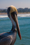 Healthy pelikan looking at the sea Royalty Free Stock Image