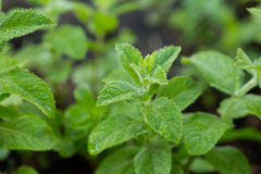 Healthy peppermint growing in garden. Royalty Free Stock Photos