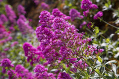 Healthy pink buddleja bush in full flowering bloom. A healthy pink buddleia butterfly bush in bloom stock photography