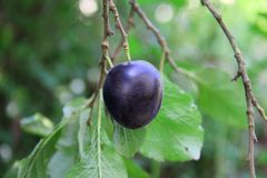 Healthy Plum in tree Stock Image