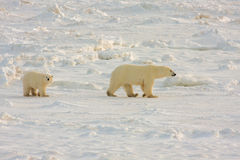 Healthy Polar Bear mother and cub royalty free stock image