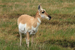 Healthy pronghorn deer Royalty Free Stock Photography