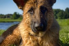 Healthy purebred dog photographed outdoors. In nature on a sunny day. dog swims in river stock photo