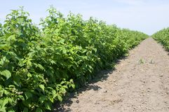 Healthy raspberry plantation in the stage of flowering during the sunny day. In Vojvodina, Serbia Stock Photo