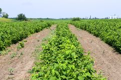 Healthy raspberry plantation in the stage of flowering during the sunny day. In Vojvodina, Serbia Royalty Free Stock Image