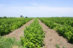Healthy raspberry plantation in the stage of flowering during the sunny day. In Vojvodina, Serbia Stock Photography