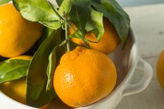 Healthy Raw Organic Satsuma Mandarin Oranges. With Green Leaves Royalty Free Stock Photo