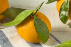 Healthy Raw Organic Satsuma Mandarin Oranges. With Green Leaves Stock Images