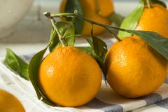 Healthy Raw Organic Satsuma Mandarin Oranges. With Green Leaves Stock Image