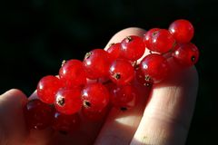Healthy Red Currant (Ribes rubrum) fruit held in h Stock Photo