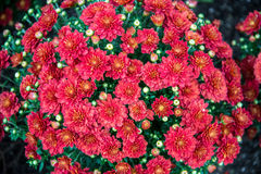 Healthy Red mums Stock Photography