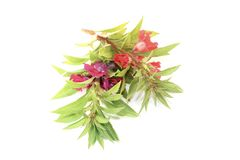 Healthy red and purple Balsam Stock Images