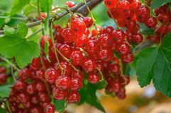 Healthy redcurrant on bush in garden in summer day stock photo