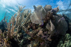 Healthy Reef in Caribbean Sea Royalty Free Stock Images