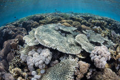 Healthy Reef in Shallows Stock Photo