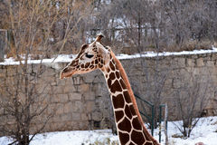 Healthy reticulated giraffe Royalty Free Stock Image