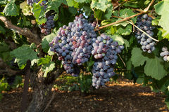 Free Healthy Ripe Sweet And Juicy Red Wine Grapes. Royalty Free Stock Images - 36015539