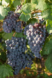 Healthy ripe sweet and juicy red wine grapes. Stock Photography