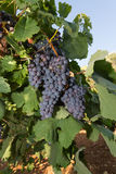 Healthy ripe sweet and juicy red wine grapes. Stock Photos