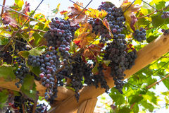 Healthy ripe sweet and juicy red wine grapes. Royalty Free Stock Images