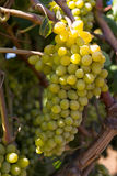 Healthy ripe sweet and juicy white grapes Royalty Free Stock Image
