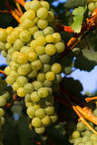 Healthy ripe sweet and juicy white grapes Royalty Free Stock Photography