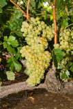 Healthy ripe sweet and juicy white grapes Royalty Free Stock Photos
