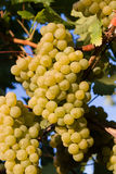 Healthy ripe sweet and juicy white grapes Stock Image