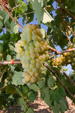 Healthy ripe sweet and juicy white grapes Royalty Free Stock Photo