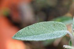 Healthy sage close up. Beautiful healthy sage close up (salvia Stock Photo