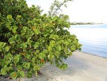 Healthy sea grape tree Royalty Free Stock Photo