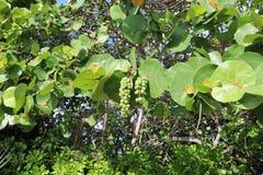 Healthy sea grape tree Stock Photo