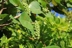 Healthy sea grape tree Stock Photography